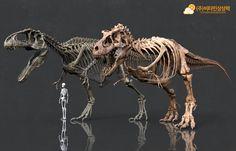 Giganotosaurus & Tyrannosaurus skeleton comparison.