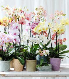 De Phalaenopsis is lid van de Orchideefamilie en staat deze maand in het… Moth Orchid, Phalaenopsis Orchid, Orchid Plants, Orchids, Rare Plants, Exotic Plants, Exotic Flowers, Fall Flowers, Beautiful Flowers