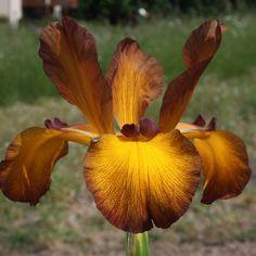 """Iris.   (""""Spuria Iris Ode to a Toad - Kasparek 12 - Photo by Aitken's Salmon Creek Garden."""")"""
