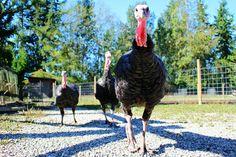 Turkeys, Farm, Bird, Feather, Poultry, Thanksgiving