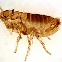 Comprimé Anti Puce Et Tique Pour Chien Adult Male Oropsylla Montana Flea 300x240 Chat Puces