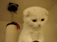 Stuck up high and unable to get down on its own, this adorable Scottish Fold kitten lets its human know how unhappy it is. The kitten has the cutest little squeaky meow which we're sure turned into a purr once it got back safely to the ground. Scottish Fold Kittens, Cat Gif, Kittens Cutest, Fur Babies, Cat Video, Kitty, My Favorite Things, Cats, Braid
