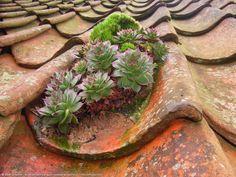 huislook groeit in leem aangebracht op dakpannen