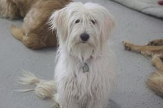 Meet Jake, an adoptable Havanese looking for a forever home. If you're looking for a new pet to adopt or want information on how to get involved with adoptable pets, Petfinder.com is a great resource.