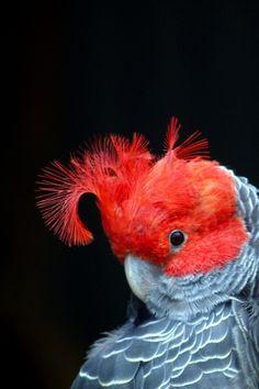 fairy-wren:    gang gang cockatoo  (photo via wildlife in victoria blog)