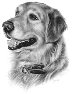 Jack by on DeviantArt – Tiere Dog Pencil Drawing, Pencil Drawings Of Animals, Animal Sketches, Art Drawings Sketches, Realistic Drawings, Cool Drawings, Shading Drawing, Golden Retriever Kunst, Dog Paintings