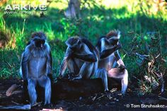 Did you know that Red Colobus monkeys eat charcoal to help digest toxins from their leafy diet? (Photo: Tom Struhsaker, @Arkive Clothing)