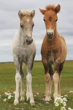 When it is spring in Iceland, the Icelandic horse foals. You can see the foals on the fields, valleys, and meadows, while driving the Ring Road of Iceland (Route 1). Perfect for a road trip with a horse theme, enjoying nature at the same time.
