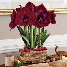 Grand Trumpet Diva Amaryllis Bulb Gift - Christmas Gift Bulbs In From Jackson and Perkins On Your Personal Digital Mall. Garden Bulbs, Garden Trees, Exotic Flowers, Beautiful Flowers, Easy To Grow Houseplants, Rose Garden Design, Amaryllis Bulbs, Amarillis, Inside Plants