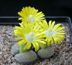Popular Potted Plant: Lithops - Banggood.com Official Gadget Blog ...
