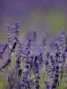 https://flic.kr/p/96USdZ   Lavender   Visited the Bridestowe Lavender Estate recently. What a wonderful sight!