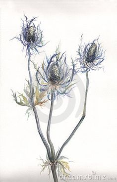 Illustration about The hand drawn watercolor of thistle (Echinops) plant. Illustration of symbol, thistle, grass - 4219531 Thistle Plant, Thistle Flower, Watercolor Plants, Watercolor Paintings, Watercolors, Carrot Flowers, Impressions Botaniques, Illustration Botanique, Sea Holly