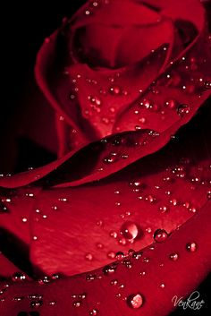 Red Rose - red is the colour of blood, but it is also the colour of love