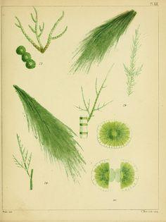 british sea-weeds. 1851