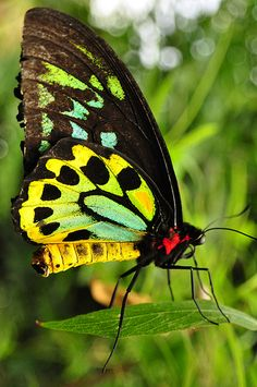 Richmond Birdwing butterfly, native to NE NSW and SEQLD, Australia.