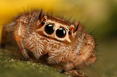 Jumping spider series 1 by macrojunkie on DeviantArt - Arthropods - Quick chicken recipes Spider Face, Pet Spider, Types Of Spiders, Animals And Pets, Cute Animals, Itsy Bitsy Spider, Jumping Spider, Exotic Pets, Beautiful Cats