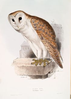 Barn Owl. Strix flammea.