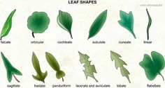 lacerate leaf - Google Search