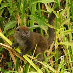 Lac Alaotra Gentle Lemur (Hapalemur alaotrensis) by Fanomezantsoa Andrianirina. The Alaotran Gentle Lemur (Hapalemur alaotrensis) is endemic to Madagascar and found only in and around the largest lake of the island, Lac Alaotra. It is the only primate adapted to live in reed and papyrus beds.