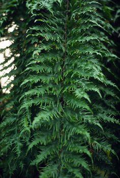 Drynaria rigidula 'Whitei'