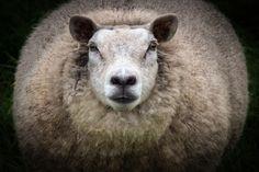 Big Mama Photo Look, Sheep, Goats, Big, Gallery, Inspiration, Image, Photos, Animaux