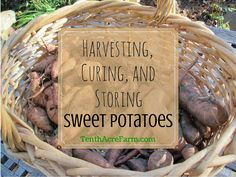 The process for harvesting, curing, and storing sweet potatoes is simple once you get the hang of it. Here's how to do it.