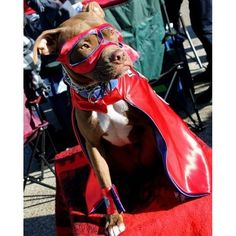 """Odin as the """"Super Pit Bull"""" for Indy Pit Crew's National Pit Bull Awareness day event Funny Cat Photos, Funny Animal Videos, Funny Animal Pictures, Funny Animals, Pet Halloween Costumes, Pet Costumes, Best Cat Gifs, Animal Jokes, Pet Treats"""