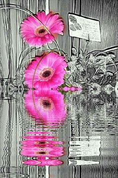 used multiple photo apps to turn pic B&W, then colored just the flowers pink, added water reflection at bottom Gerber Daisies, Water Reflections, Daisy, Smartphone, Apps, Flowers, Pink, Color, Gerbera