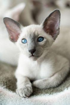 Découvrez toutes les races de chats dans l'ordre alphabétique en images. Persan, Sacré de Birmanie, Sphinx, Siamois,Savannah, ...
