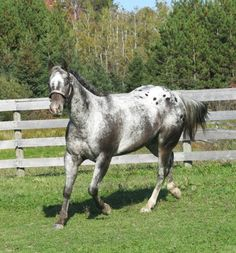 Kissed In The Dark, Appaloosa Mare in New York   Appaloosa Horses for Sale