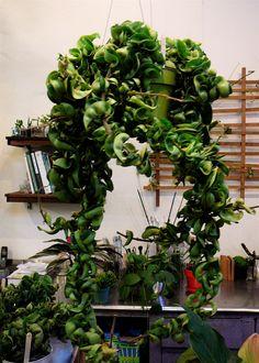 curly leaf hoya plant  ... my favorite & easy to grow.