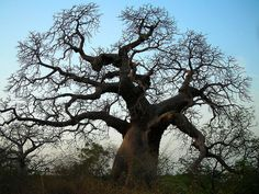 Baobab trees are everywhere in Senegal Le Baobab, Baobab Tree, Beautiful Forest, Beautiful Places, Woodland Forest, Nature Tree, Plantar, Growing Tree, Fantastic Art