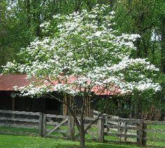 American Dogwood, Eastern Dogwood, Flowering Dogwood Botanical Name: Cornus florida Category: Ornamental Trees Height: 15-20' + Spread: 10-15' + Exposure: Light to Medium Shade Care: None; may prune to shape as desired