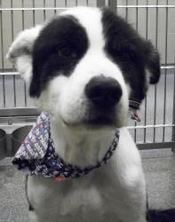 ADOPTED! Hannibal is an adoptable Akita Dog in Lubbock, TX. Breed: Purebred / Mix: Coat Description: Grooming: Age: Personality: Likes dogs?: Likes cats?: Likes kids?: Housetrained: Lots of energy / Laid back:...