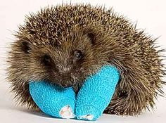 """""""These lame baby hedgehogs are casualties of the chaotic weather.  They should be asleep for the winter – but instead they are nursing their broken bones at Tiggywinkles Wildlife Hospital near Aylesbury, Buckinghamshire.  The RSPCA says its rescue centres are looking after hundreds of abandoned hedgehogs born during the exceptionally mild autumn and who are too small or weak to hibernate."""""""