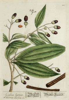 "Cassia lignea, from ""A curious herbal"", Elizabeth Blackwell, 1737-1739"