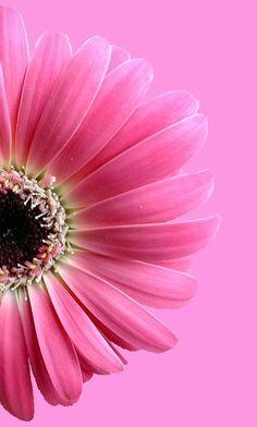 Dark Pink Gerbera Daisies - Calyx Flowers, Inc Textured Wallpaper, Flower Wallpaper, Nature Wallpaper, Mobile Wallpaper, Flower Backgrounds, Wallpaper Backgrounds, Iphone Wallpaper, Calyx Flowers, Pink Flowers