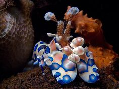 this is a harelquin shrimp. it's so pretty!