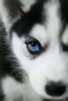 blue eyes Would like some evolutionist to explain why these dogs have blues eyes. God likes to keep us confounded with His majesty!❤️: Huskie Puppies With Blue Eyes, Puppies Dogs, Baby Huskies Puppies, Huskys With Blue Eye, Husky Puppy With Blue Ey Cute Husky Puppies, Husky Puppy, Dogs And Puppies, Huskies Puppies, Baby Huskies, Animals And Pets, Baby Animals, Funny Animals, Cute Animals