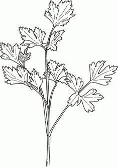 herbs coloring pages - photo#9
