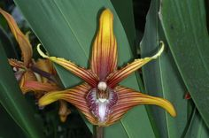 Maxillaria striata; by Eric Hunt