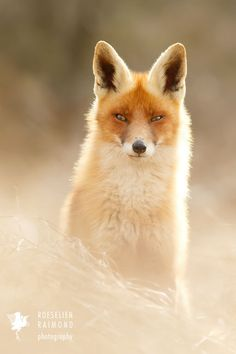 Heavenly Fox by Roeselien Raimond on 500px