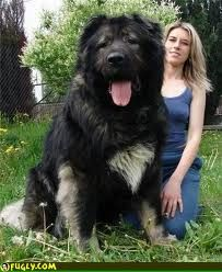 giant alaskan malamute - Google Search