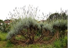 What To Do With a Woody Lavender Plant - how to trim and propagate.