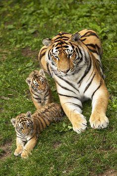 Amur Tigress with Cubs