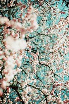 I just love cherry blossoms!!