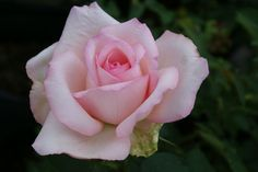 Garden Princes - Ludwigs Roses   This rose is a sport of the magnificent magenta 'Garden Queen'. It is strongly fragrant and produces huge blooms of a delicate pink.