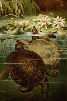 Turtles. High quality vintage art reproduction by Buyenlarge. One of many rare and wonderful images brought forward in time. I hope they bring you pleasure each and every time you look at them.