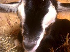 Cute baby  Alpine Goat
