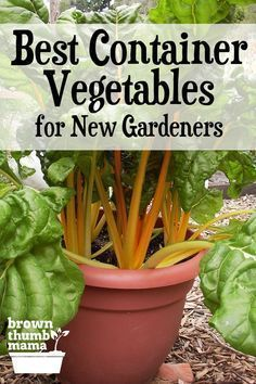 Container Gardening For Beginners Here are the 5 best container vegetables for beginning gardeners. They're all easy to start from seed and will grow happily in pots on your patio, driveway, next to your pool.wherever they fit. Growing Vegetables In Containers, Container Gardening Vegetables, Planting Vegetables, Organic Vegetables, Veggies, Easy To Grow Vegetables, Organic Nutrients, Gardening For Beginners, Gardening Tips